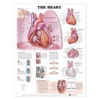 The The Heart Anatomical Chart